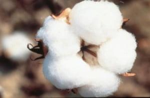 cotton crop -2